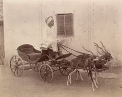 [Small carriage drawn by black buck at Alwar.]
